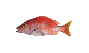 Blackfin Snapper