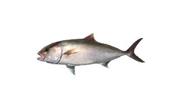 Lesser Amberjack