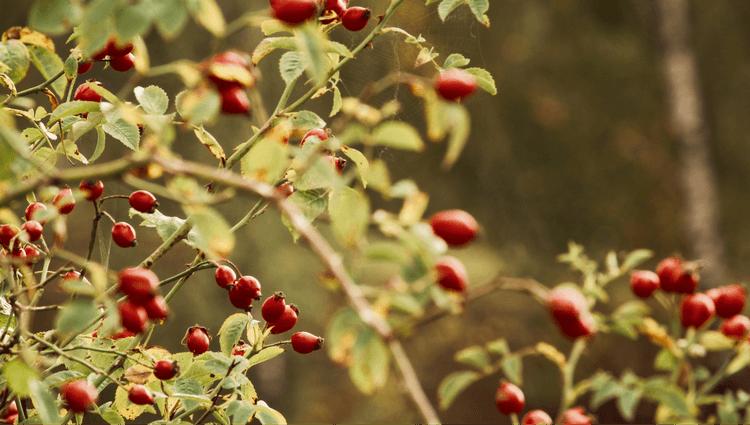 Rosehip seeds