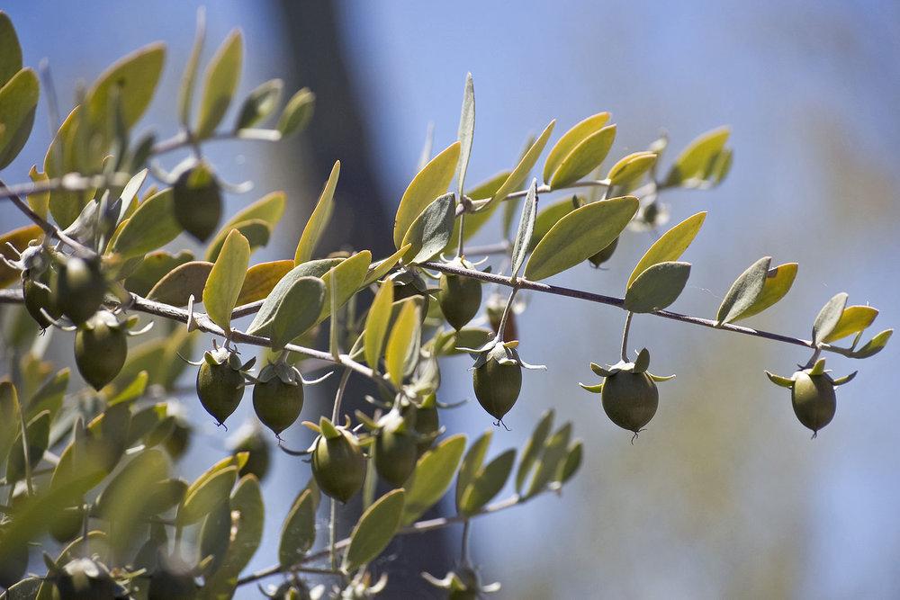Jojoba tree