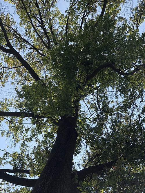 Logan Fringe Arts Space's grand old oak tree.