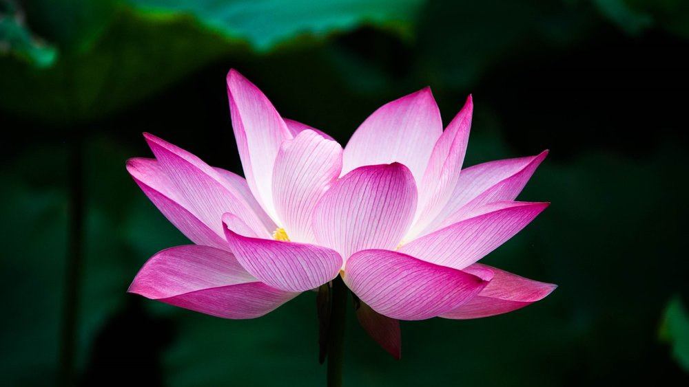 lotusflower2.jpg