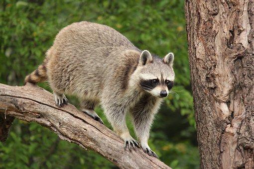 raccoon-3575636__340.jpg