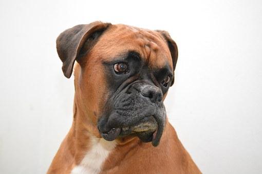 boxer-1277804__340.jpg