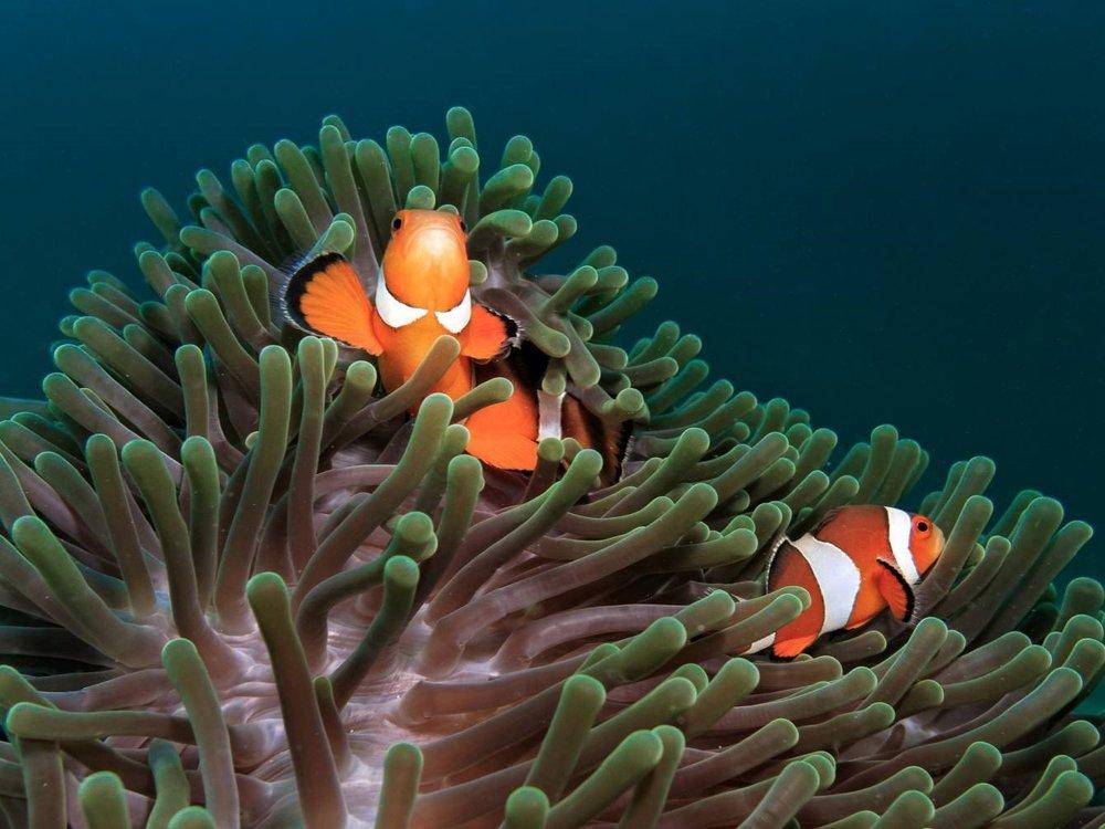 clownfish_sea_anemone-581b994d3df78cc2e879cc71.jpg