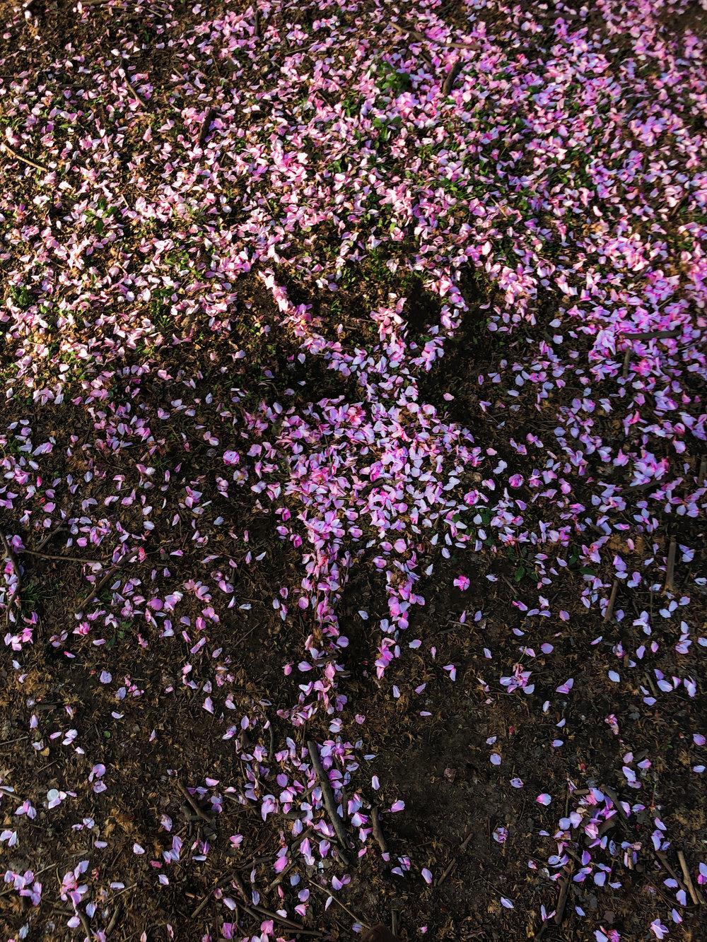 2019_ShadowDancer_CherryBlossom.jpg