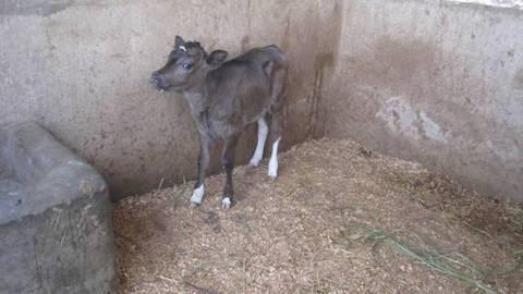 """The farm at Urukundo announces, """"It's a girl."""""""