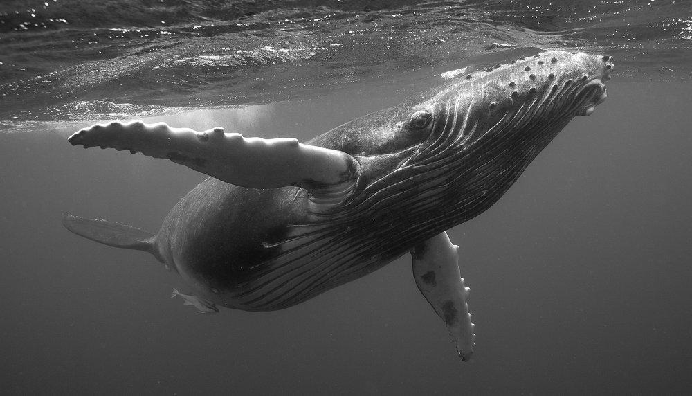 Humpback Whale Calf II, 2006