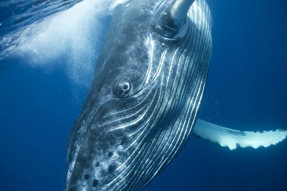 Humpback Whale Portrait 1341, 2006