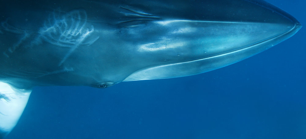 Minke Whale Composite Portrait II, 2009