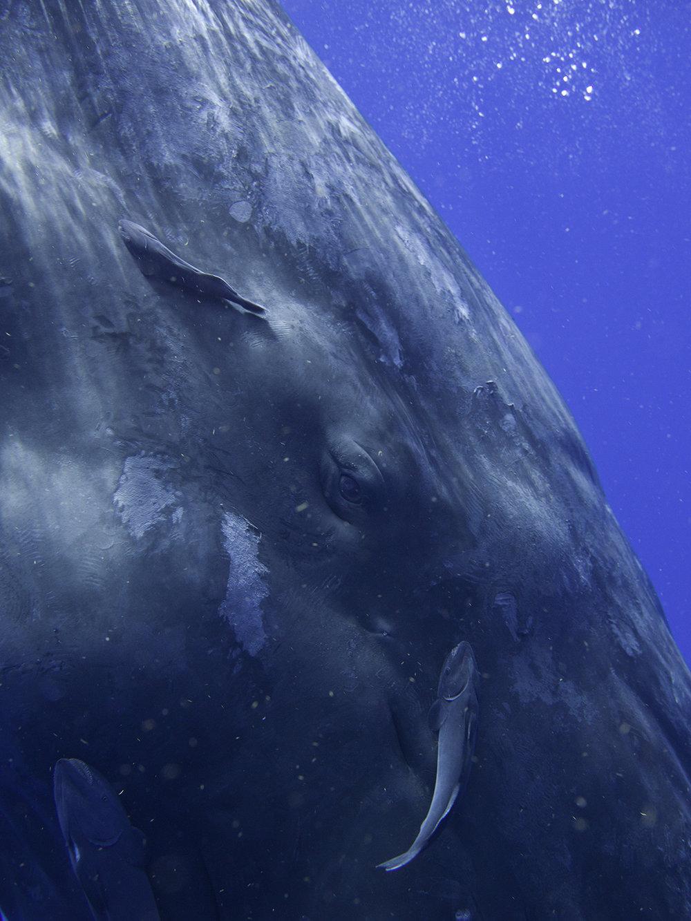 Sperm Whale Portrait 0317