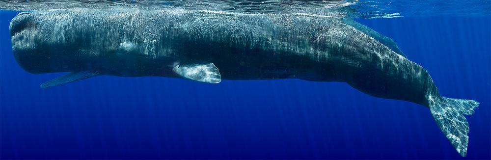 Sperm Whale Composite II, 2011