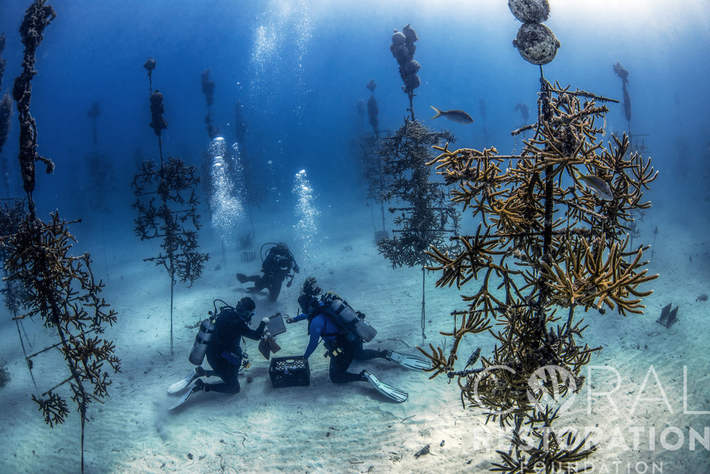 Divers at work in the CRF Coral Tree Nursery.JPG