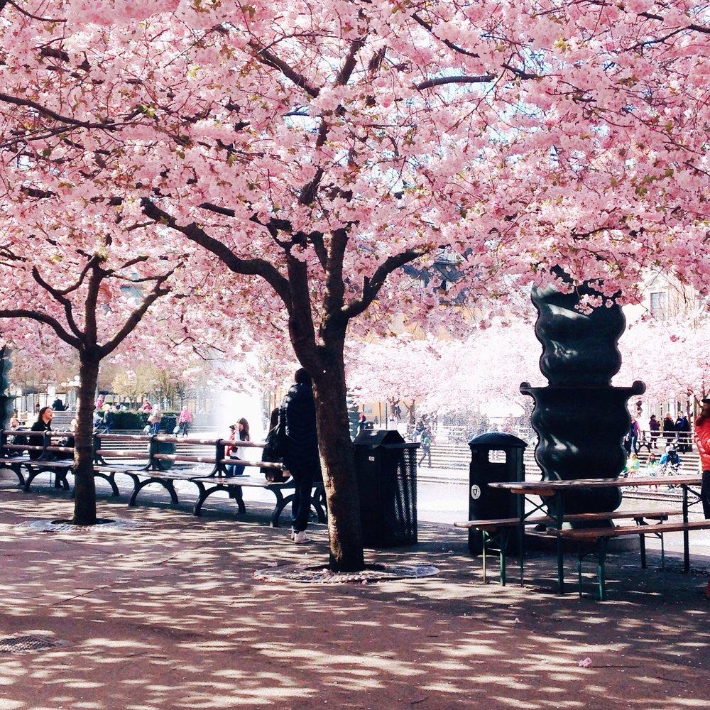 Cherry blossoms in Kungsträdgården Stockholm