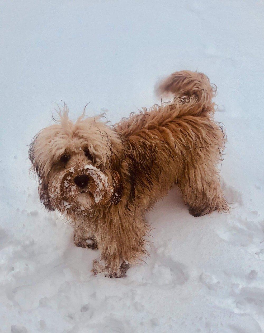 Bob from 2018 litter enjoying the snow!