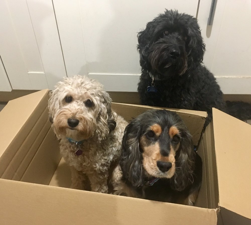 My 3 Dogs.   Jazz (11 year old black cockapoo at the back)   In the box, left to right, Jolyne aged 2 (from 2016 litter) and her mother, our only breeding bitch, Grace