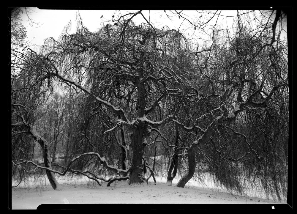 20180117_Rockwood_SnowTree_HP5_dry_2.JPG