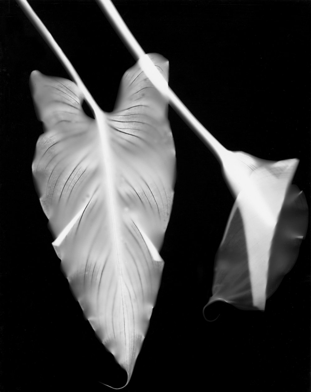 CALLA LILLY, 2000