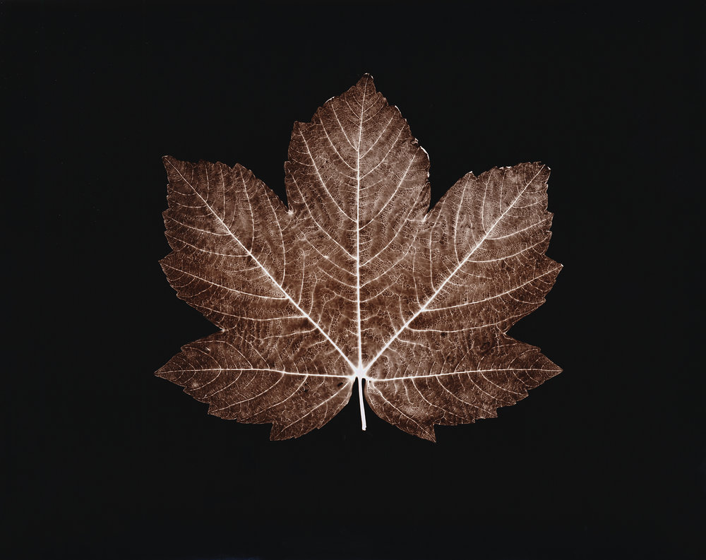 MAPLE LEAF, 2003