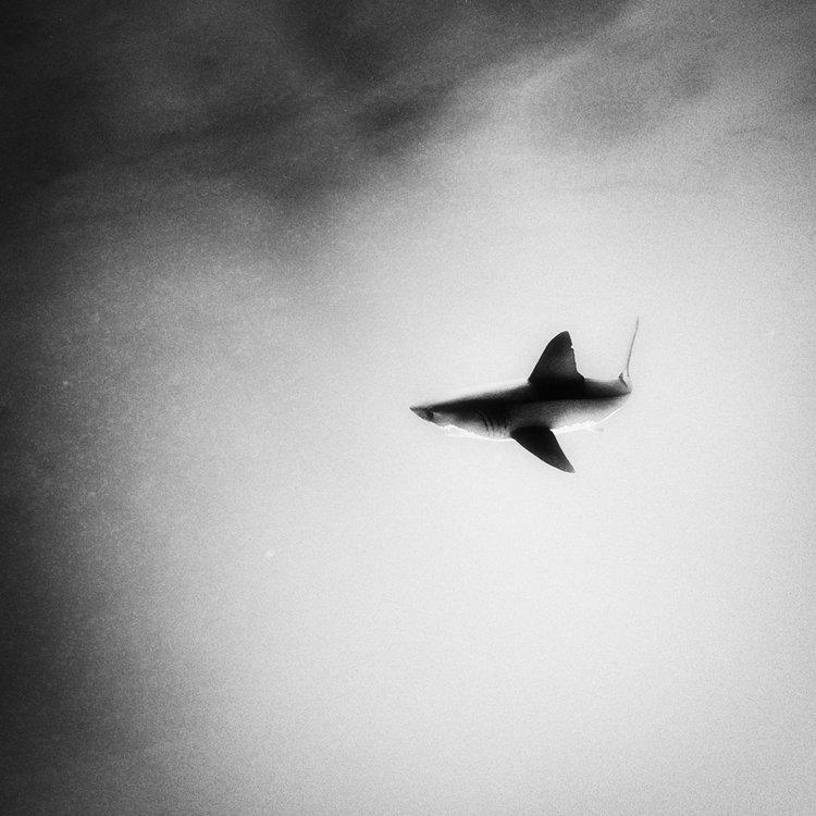 web_imaginary_shark.jpg