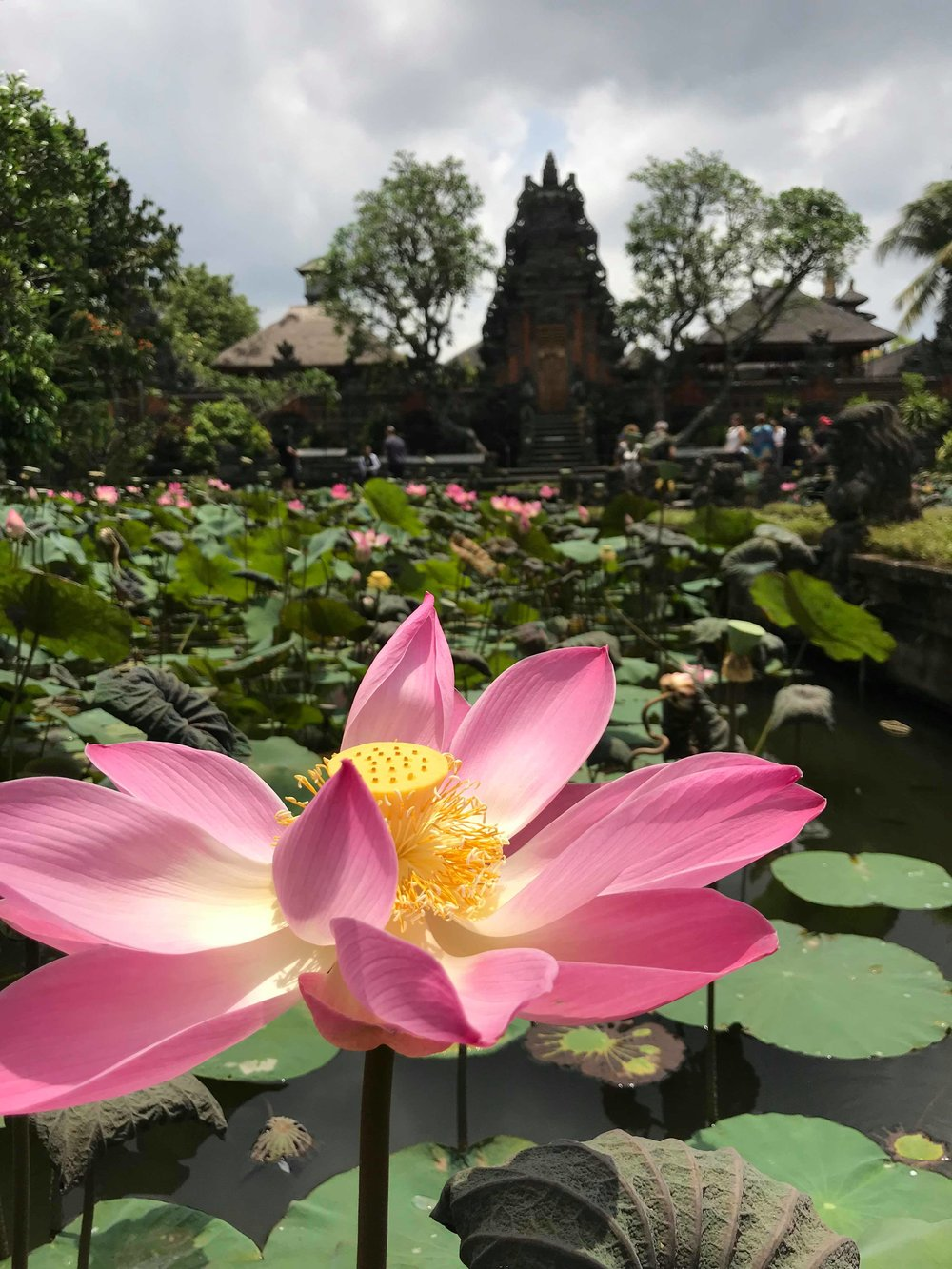 Blooming Lotus, Saraswati Temple: Bali, Indonesia