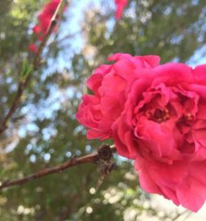 dark-pink-peach-bloom-e1426798567497.jpg