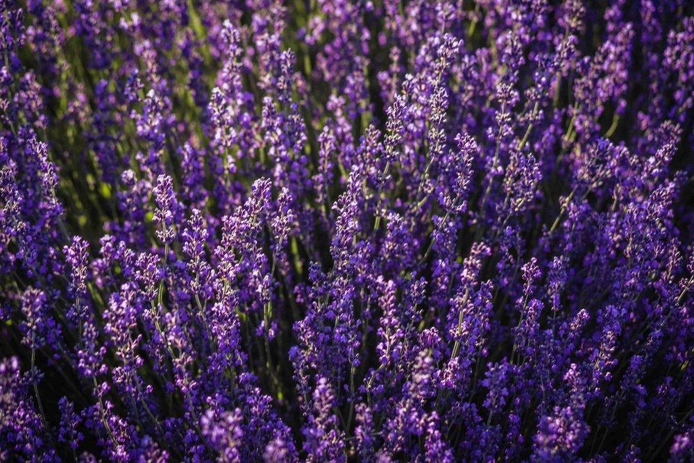 Hood River Lavender Farms Columbia Gorge buy lavender online hood river odell portland pacific northwest pnw creams lavender_-10.jpg
