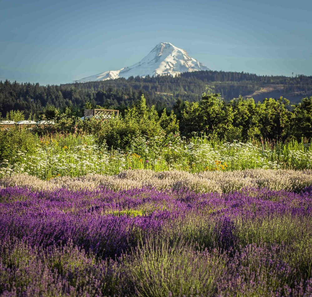 Hood River Lavender Farms Columbia Gorge buy lavender online hood river odell portland pacific northwest pnw creams lavender_-36.jpg