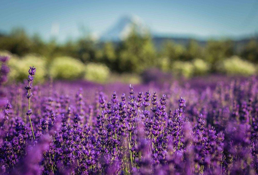 Hood River Lavender Farms Columbia Gorge buy lavender online hood river odell portland pacific northwest pnw creams lavender_.jpg