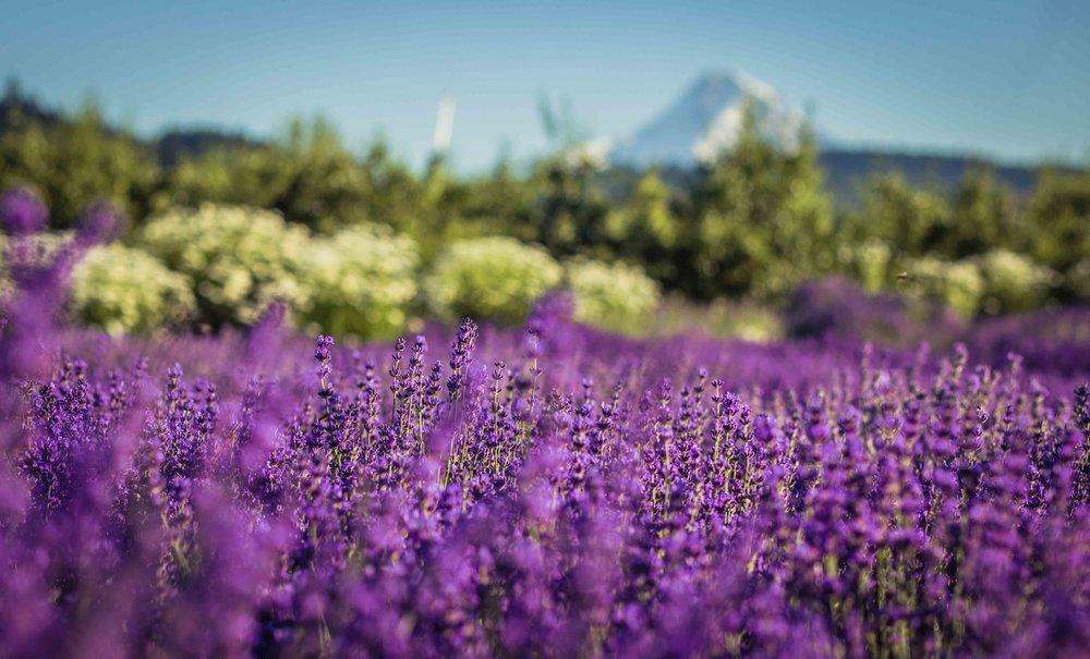 Hood River Lavender Farms Columbia Gorge buy lavender online hood river odell portland pacific northwest pnw creams lavender_-3.jpg