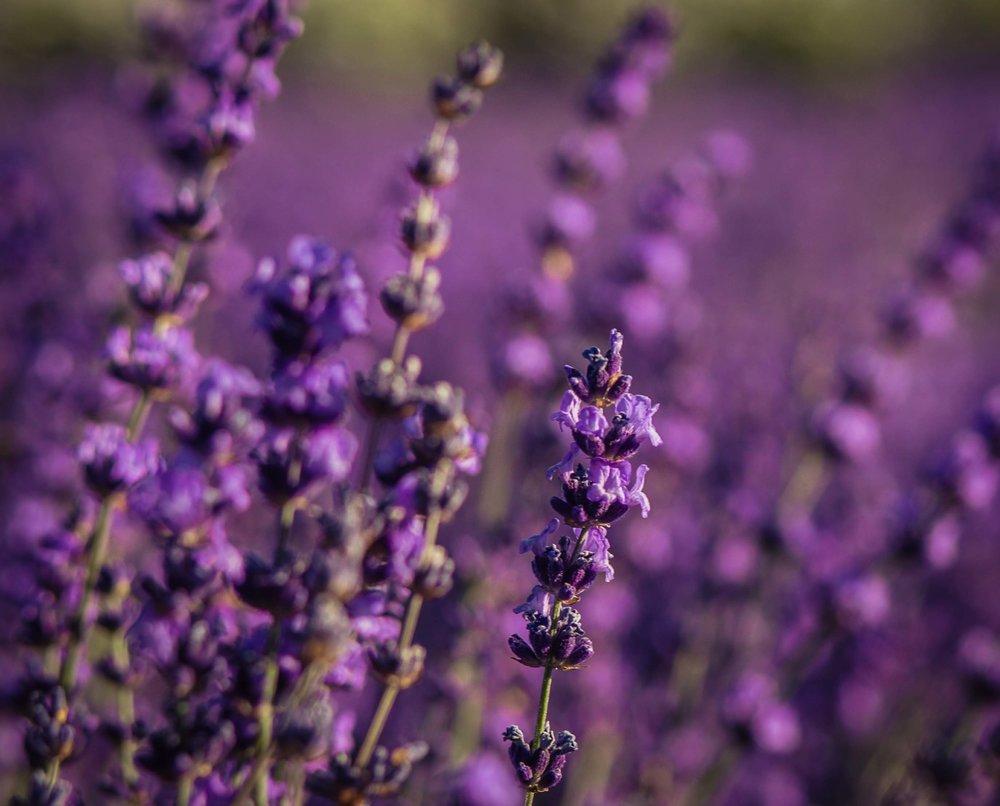 Hood River Lavender Farms Columbia Gorge buy lavender online hood river odell portland pacific northwest pnw creams lavender_-5.jpg