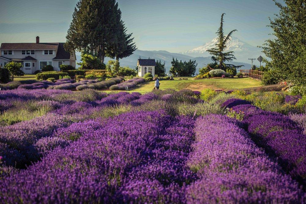 Hood River Lavender Farms Columbia Gorge buy lavender online hood river odell portland pacific northwest pnw creams lavender_-17.jpg