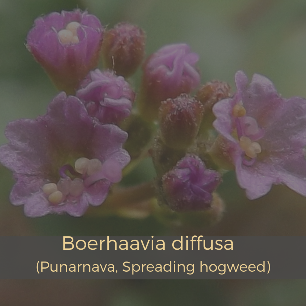 Boerhaavia diffusa (Punarnava, Spreading hogweed).png