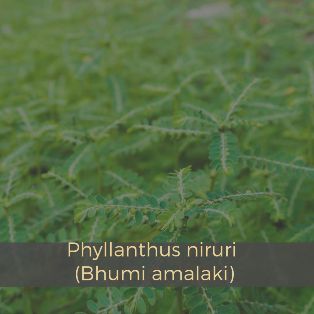 Phyllanthus niruri (Bhumi amalaki).png