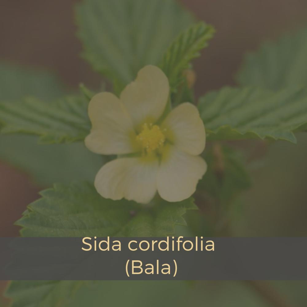 Sida cordifolia (Bala).png