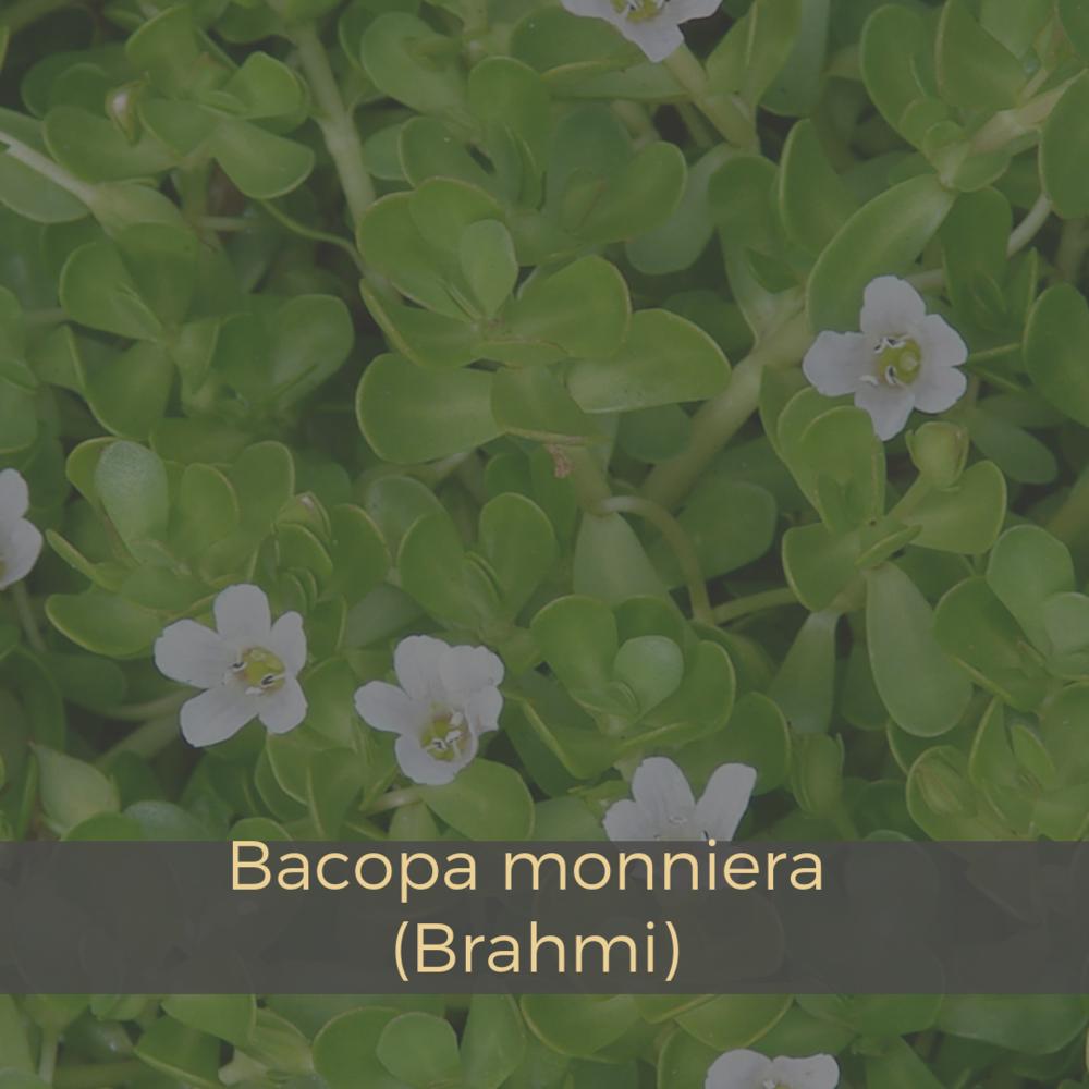 Bacopa monniera (Brahmi).png
