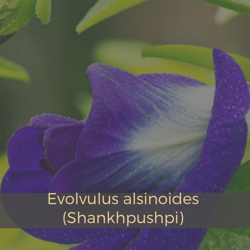 Evolvulus alsinoides (Shankhpushpi).png
