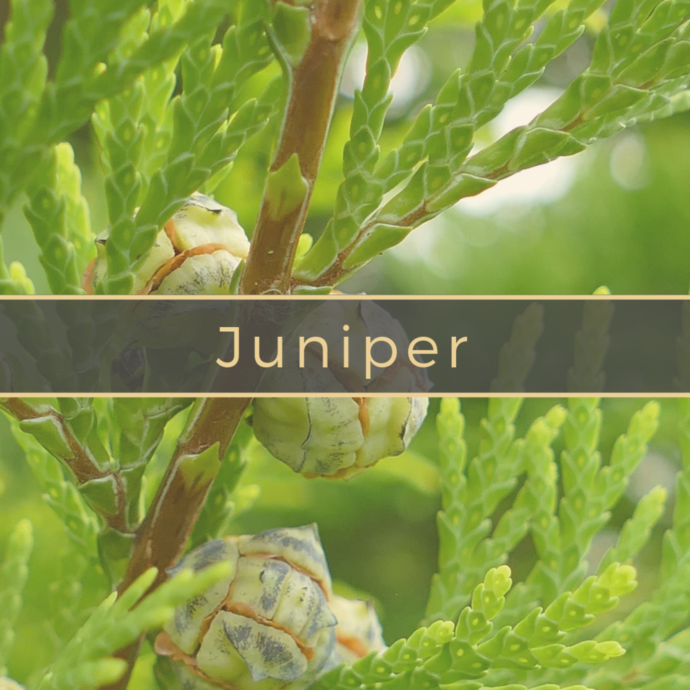 Juniper Gerson Institute of Ayurvedic Medicine.png