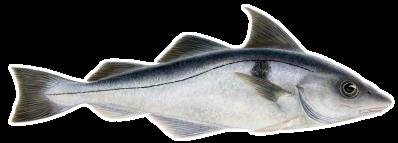 Haddock - Melanogrammus aeglefinus – Ýsa