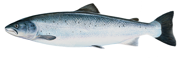 Atlantic salmon - Salmo salar - Lax