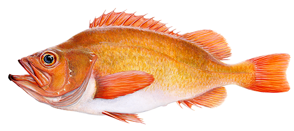 Golden Redfish - Sebastes marinus – Karfi