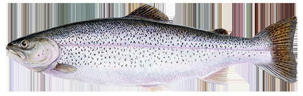 Rainbow trout - Oncorhynchus mykiss - Regnbogasilungu