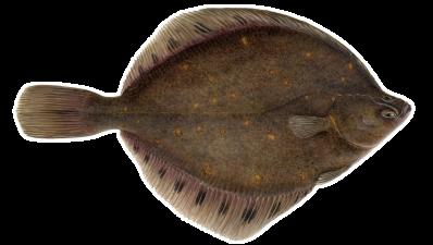Plaice - Pleuronectes platessa – Skarkoli