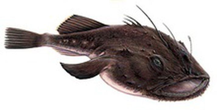 Monkfish - Lophius piscatorius - Skötuselur