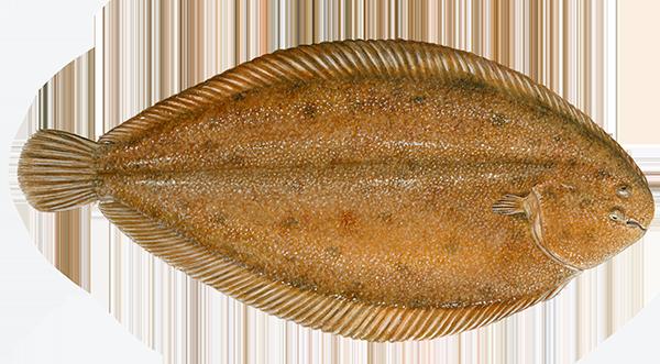 Solae senegalensis - Solae senegalensis - Senegalflúra