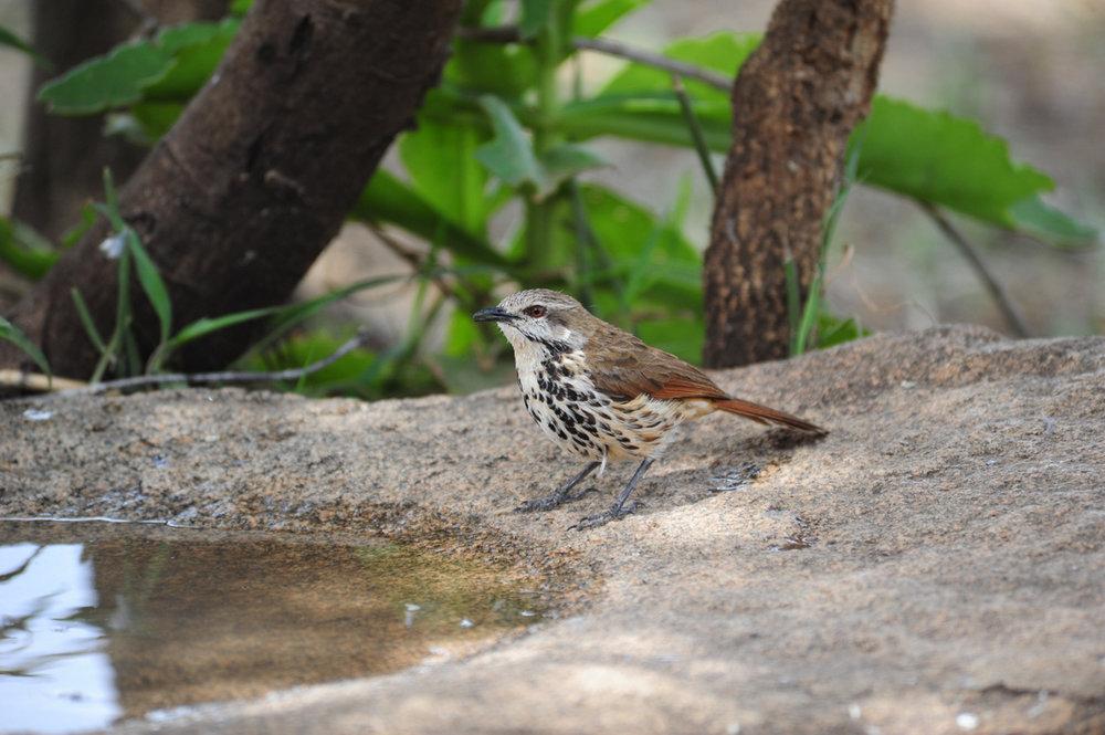 spottedmorningthrush.jpg