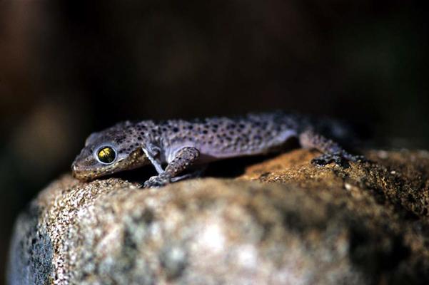 gecko-1-1.jpg