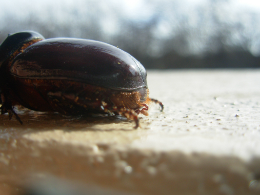 rhino dung beetle-2