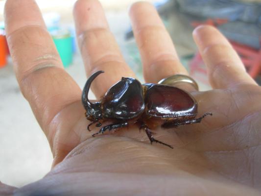 rhino-dung-beetle-3-1.jpg