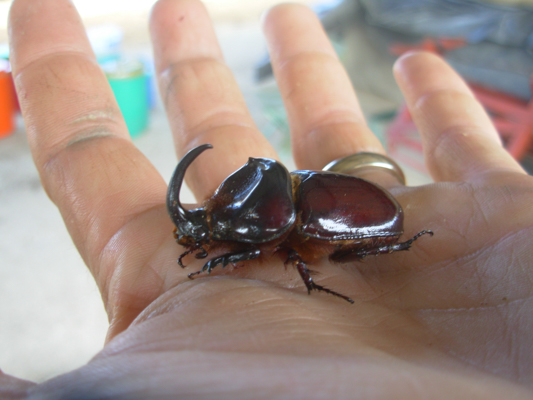 rhino dung beetle